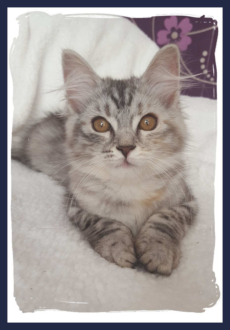 JaiDje's Glossy Jewel - Siberian female, black tortie silver  tabby spotted with white