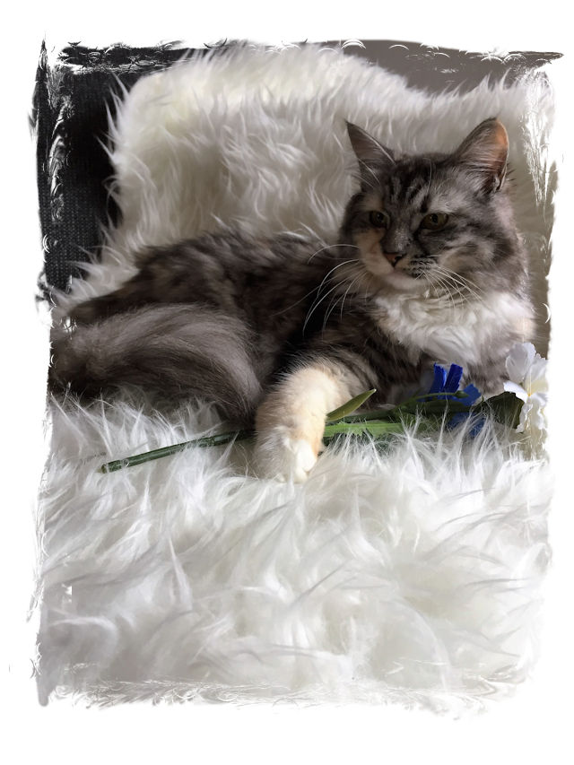 JaiDje's Heaven-Leigh - Siberian female, black tortie silver  tabby mackerel with white